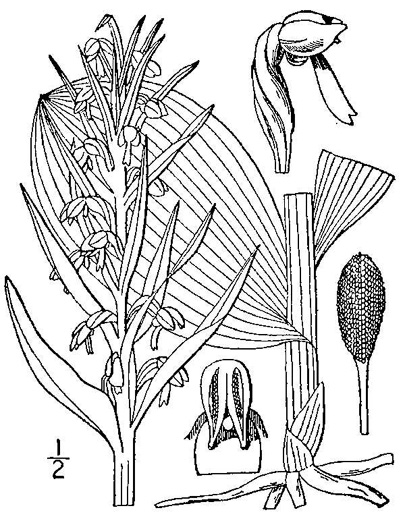 drawing of Dactylorhiza viridis, Longbract Frog Orchid, Long-bracted Orchid