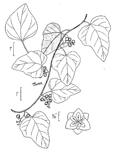 drawing of Cocculus carolinus, Carolina Moonseed, Coralbeads, Carolina Snailseed, Red Moonseed