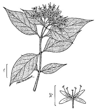 drawing of Swida drummondii, Midwestern Roughleaf Dogwood