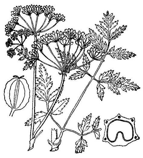 drawing of Conium maculatum, Poison Hemlock