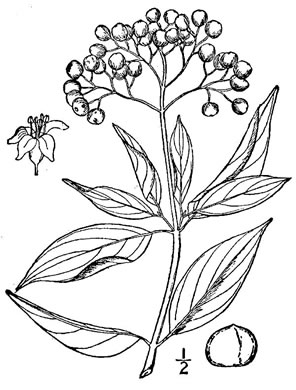 drawing of Swida foemina, Southern Swamp Dogwood