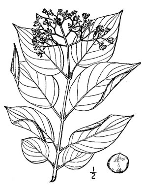 drawing of Swida sericea, Red Osier Dogwood, Bailey's Dogwood