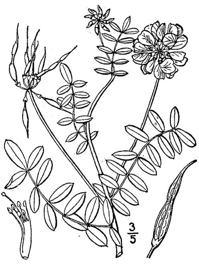 picture of Coronilla varia, image of Securigera varia