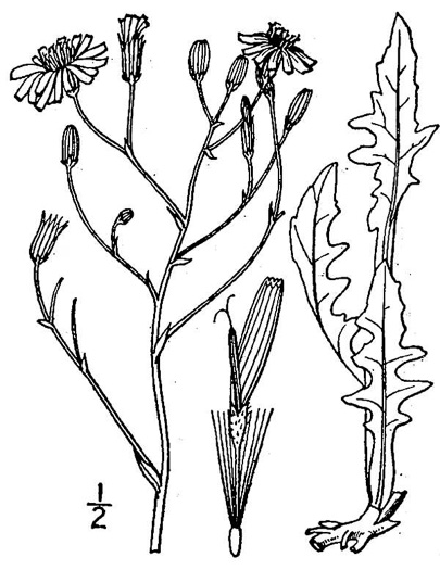 image of Crepis pulchra, Smallflower Hawksbeard