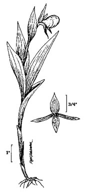drawing of Cypripedium candidum, White Lady's Slipper