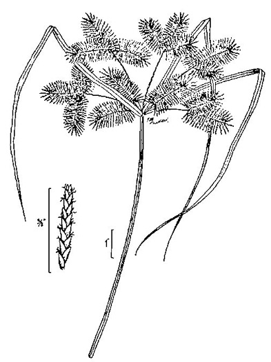 image of Cyperus erythrorhizos, Redroot Flatsedge