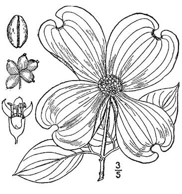 drawing of Benthamidia florida, Flowering Dogwood
