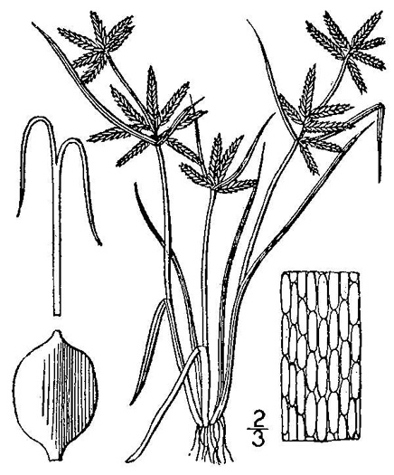image of Cyperus flavescens, Yellow Flatsedge