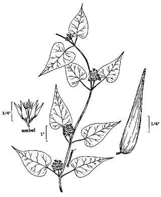 image of Cynanchum laeve, Bluevine, Sandvine, Honeyvine