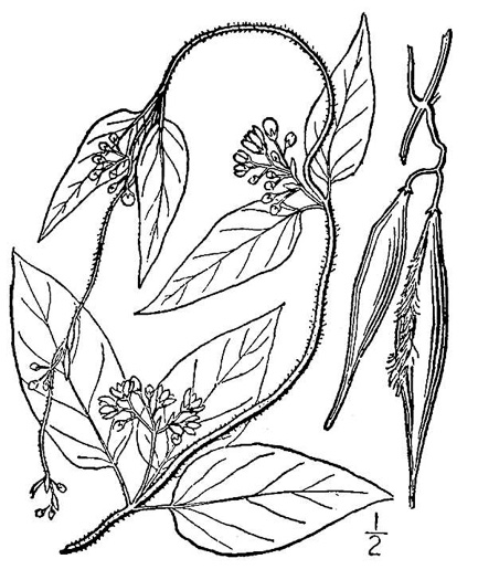 image of Vincetoxicum nigrum, Black Swallow-wort, Dog-Strangling Vine