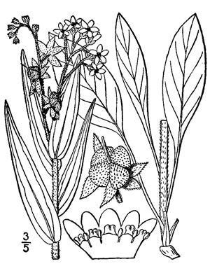 drawing of Cynoglossum officinale, Hound's-tongue, Garden Comfrey