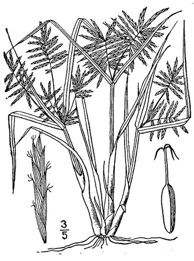 image of Cyperus strigosus, False Nutsedge