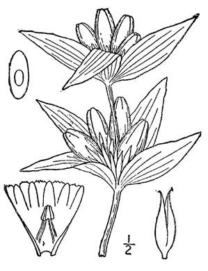 image of Gentiana andrewsii var. andrewsii, Prairie Closed Gentian, Closed Bottle Gentian