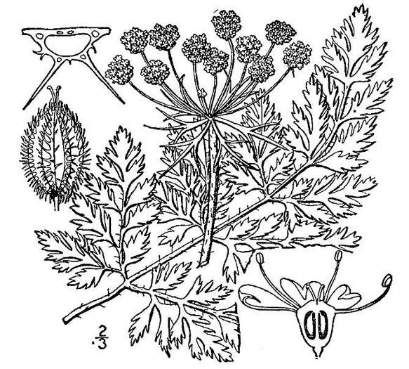 drawing of Daucus carota, Queen Anne's Lace, Wild Carrot, Bird's Nest