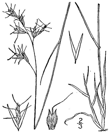 image of Danthonia spicata, Poverty Oatgrass, Moonshine Grass