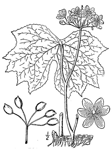 image of Diphylleia cymosa, Umbrella-leaf, Pixie-parasol