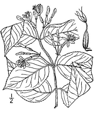 image of Diervilla lonicera, Northern Bush-honeysuckle