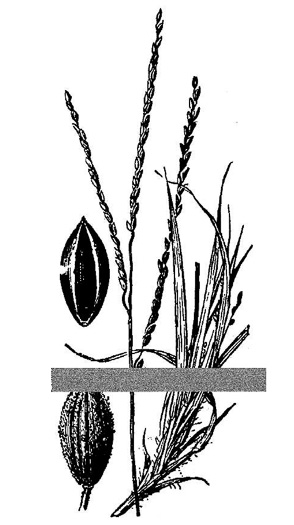 image of Digitaria filiformis var. filiformis, slender crabgrass