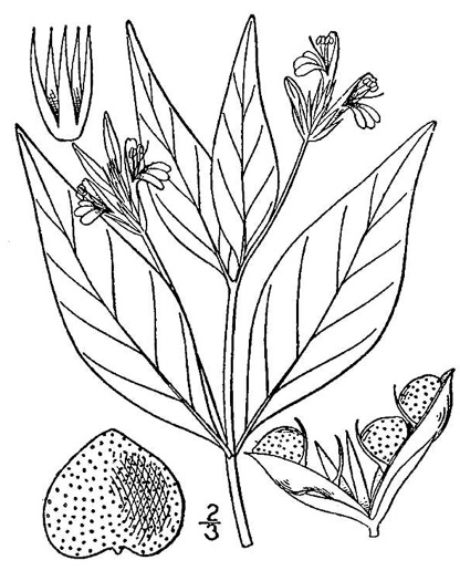 image of Justicia ovata, Coastal Plain Water-willow, Looseflower Water-willow