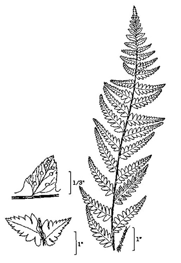 image of Dryopteris cristata, Crested Wood-fern, Crested Shield Fern