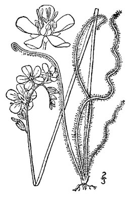 image of Drosera filiformis, Threadleaf Sundew