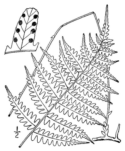 image of Coryphopteris species 1, Bog Fern, Massachusetts Fern