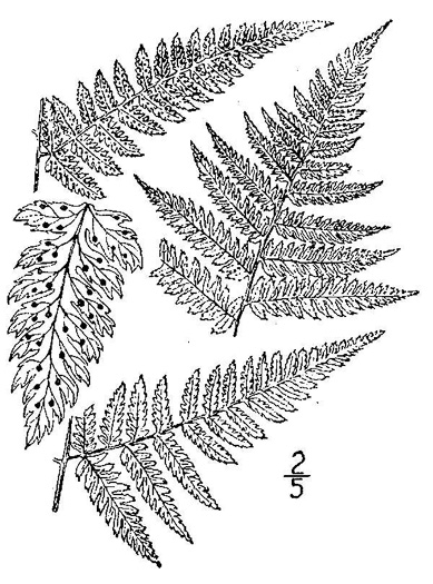 image of Dryopteris carthusiana, Spinulose Wood-fern, Toothed Wood-fern