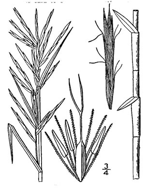 image of Dulichium arundinaceum var. arundinaceum, Three-way Sedge