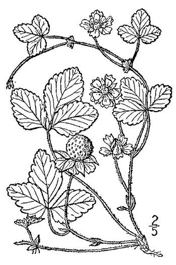 image of Potentilla indica, Indian Strawberry, Mock Strawberry