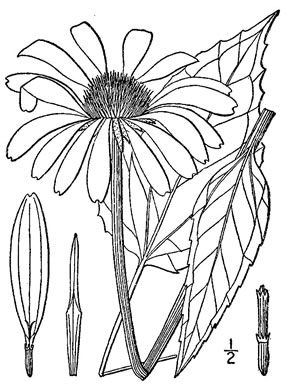 image of Echinacea purpurea, Eastern Purple Coneflower