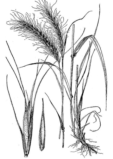image of Elymus canadensis var. canadensis, Great Plains Wild-rye, Nodding Wild-rye