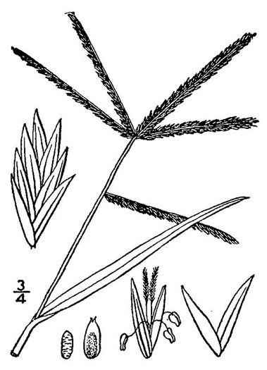 image of Eleusine indica, Goosegrass, Yard Grass, Indian Goose-grass