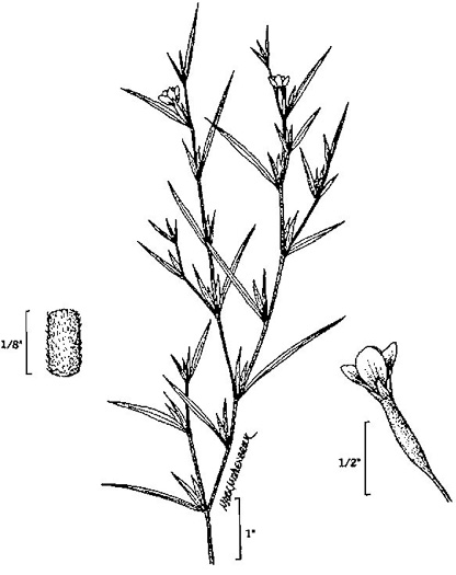 image of Epilobium coloratum, Purple-leaved Willow-herb, Bronze Willow-herb, Eastern Willow-herb