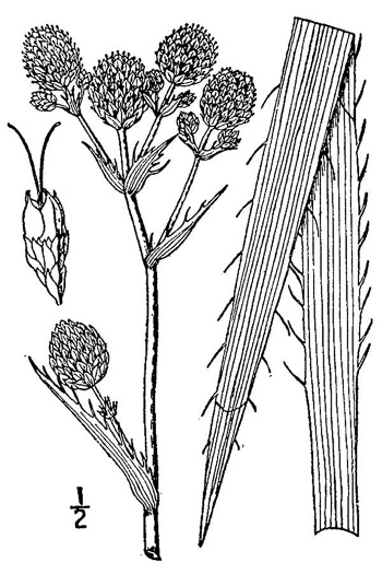 drawing of Eryngium ravenelii, Ravenel's Eryngo
