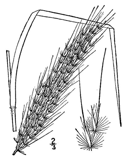 image of Erianthus brevibarbis, Short-bearded Plumegrass