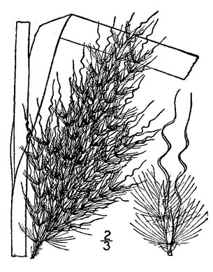image of Erianthus alopecuroides, Silver Plumegrass