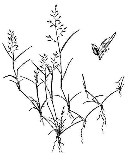 image of Eragrostis hypnoides, Creeping Lovegrass, Teal Lovegrass