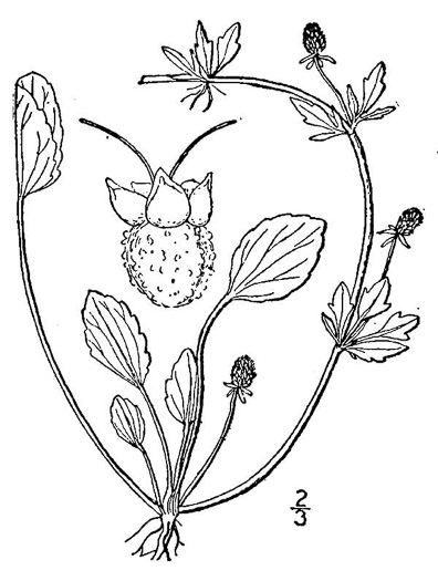 drawing of Eryngium prostratum, Spreading Eryngo, Creeping Eryngo