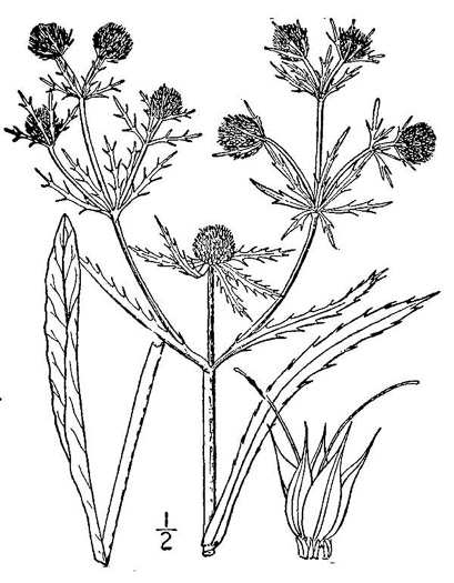 drawing of Eryngium aquaticum, Marsh Eryngo
