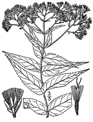 image of Eupatorium sessilifolium var. sessilifolium, Upland Boneset, Sessile-leaf Eupatorium