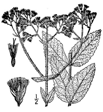 image of Eupatorium rotundifolium, Common Roundleaf Boneset, Common Roundleaf Thoroughwort, Common Roundleaf Eupatorium