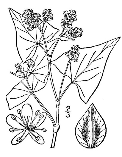 image of Fagopyrum esculentum, Buckwheat