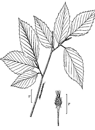 drawing of Fagus grandifolia +, American Beech