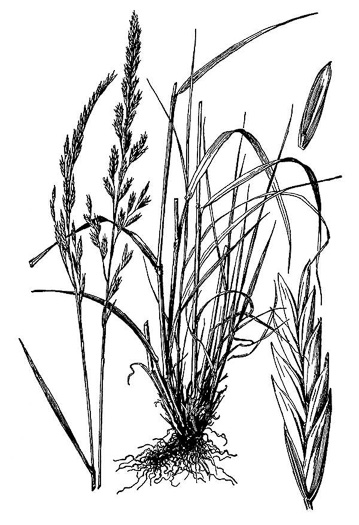 image of Schedonorus pratensis, Meadow Fescue