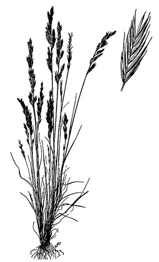 image of Festuca octoflora var. octoflora, Southern Six-weeks Fescue