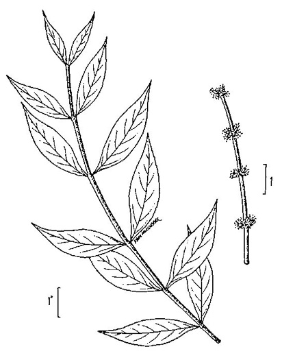 image of Forestiera acuminata, Swamp-privet