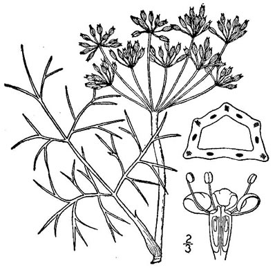 drawing of Foeniculum vulgare, Fennel