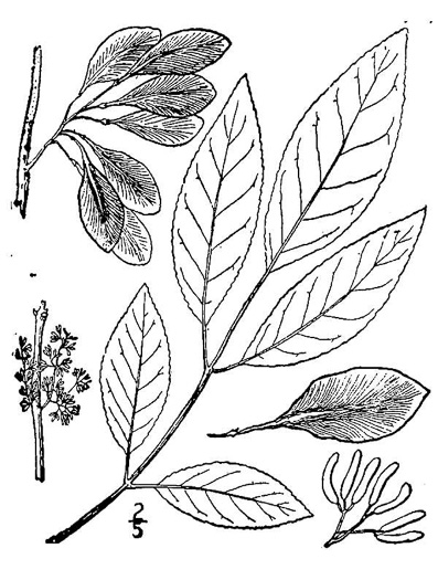 image of Fraxinus caroliniana, Carolina Ash, Water Ash, Pop Ash