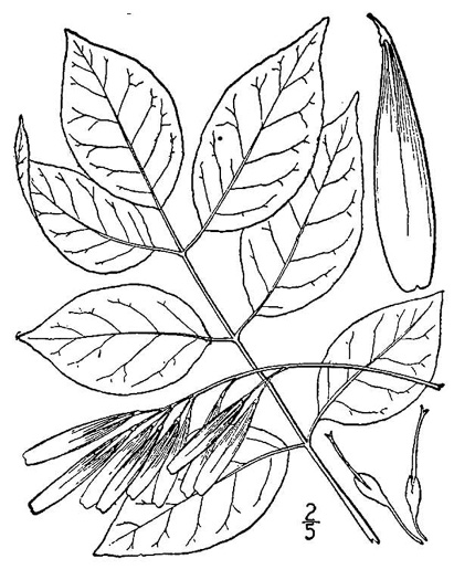 image of Fraxinus pennsylvanica, Green Ash, Red Ash