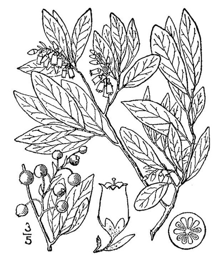 drawing of Gaylussacia baccata, Black Huckleberry, Crackleberry
